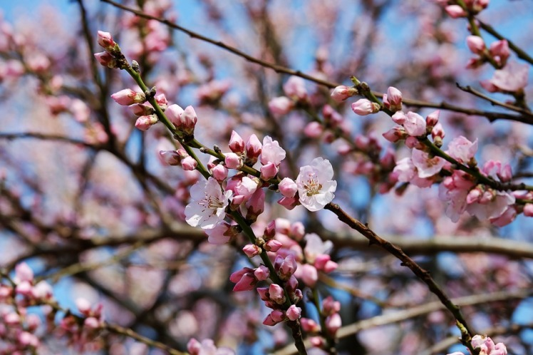 japanese-cherry-trees-3259835_960_720