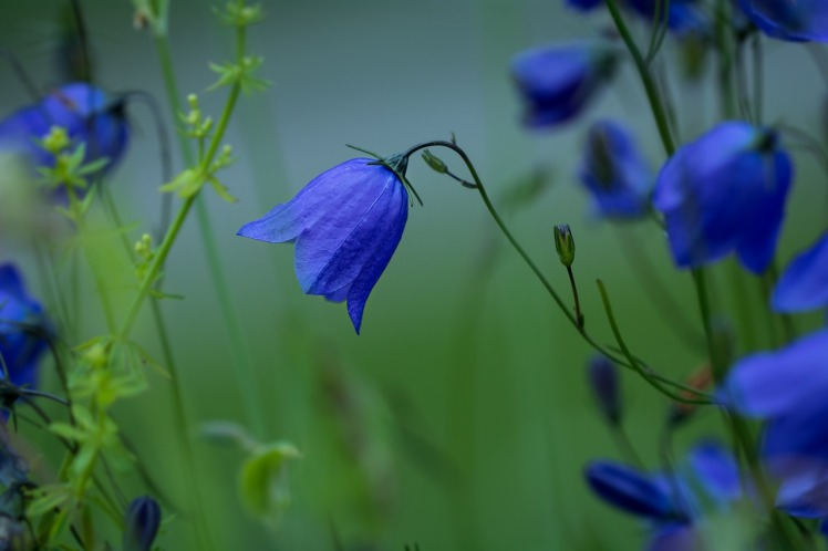 round-leaved-bellflower-1576104_1280.jpg