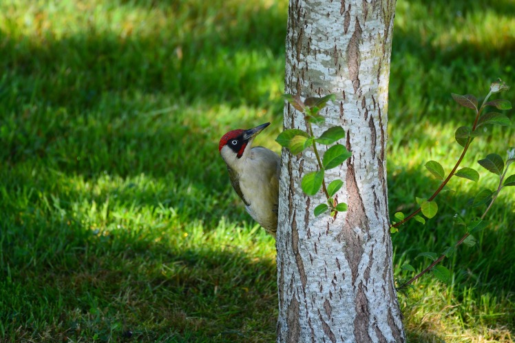 green woodpecker bird tree birch