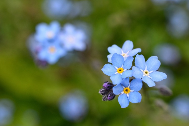 blue forget-me-not flower on blurred background